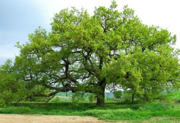 1-la-quercia-delle-checche-.jpg