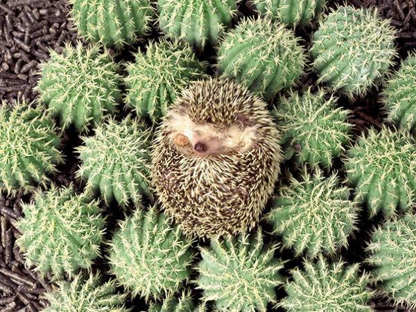 11-riccio-dorme-sui-cactus.jpg