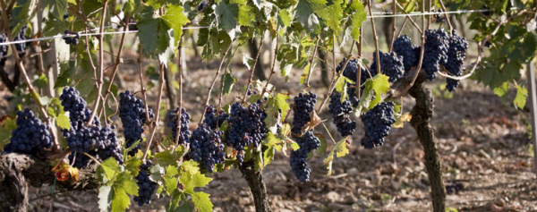21-20-grape-harvest.jpg